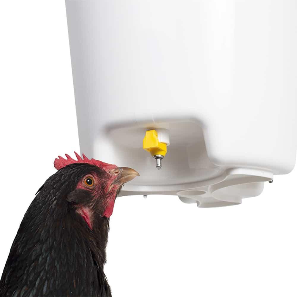 abreuvoir poules