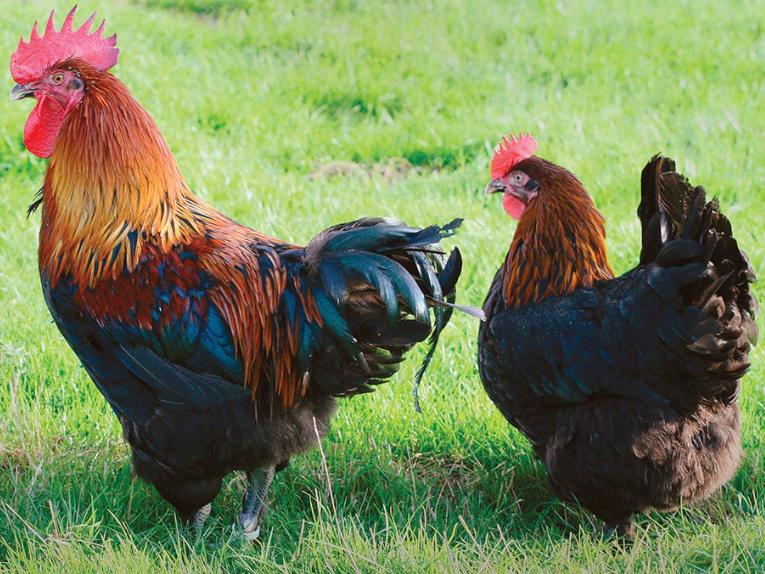 couple poule et coq marans