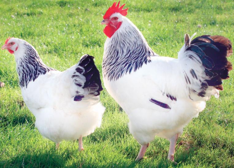 couple poule et coq