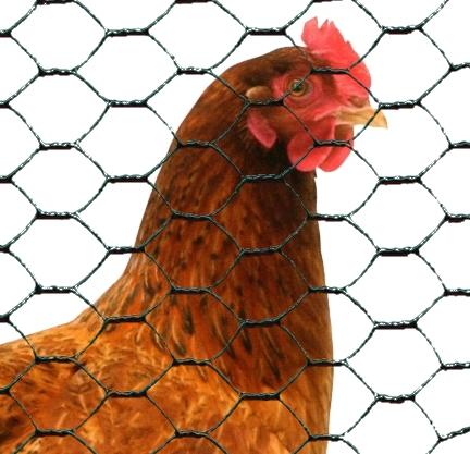 poule dans enclos avec grillage triple torsion