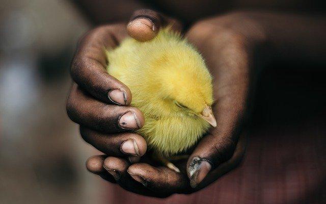Réchauffer vos poules avec une lampe chauffante poussin
